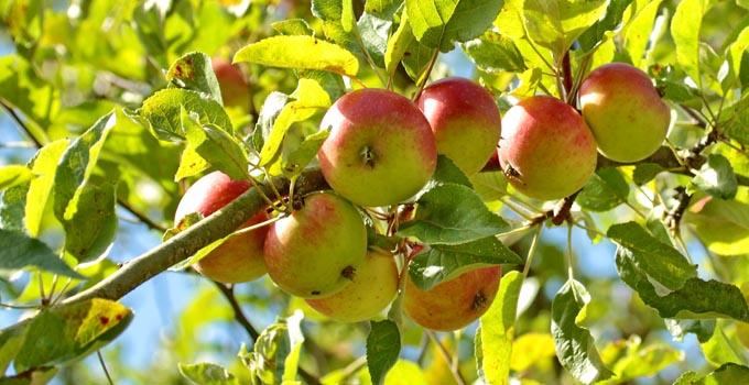 Apfelbaum_Artikelr